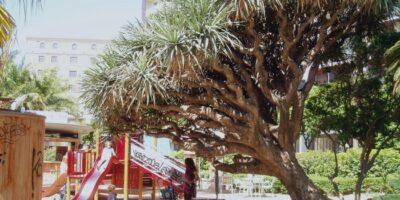 Drago ( Dracaena draco subsp. draco) en parque infantil. Málaga