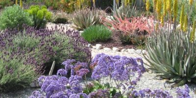 Siempreviva de Teno (Limonium perezii) en jardín privado.California