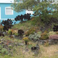 Coexistencia de bejeques endémicos (Aeonium spp.) con híbridos de jardinería. Villa de Mazo. La Palma