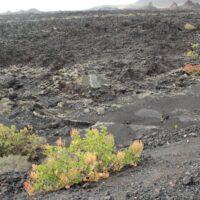 Comportamiento invasor de una especie introducida: la vinagrera (Rumex lunaria). Timanfaya. Lanzarote