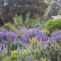 Hibridación de tajinastes (Echium spp.) en un jardín. Fuencaliente. La Palma