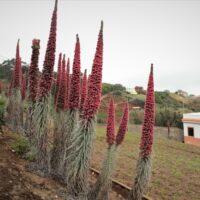 Tajinastes rojos del Teide (Echium wildpretii subsp. wildpretii) en una finca particular. Gran Canaria