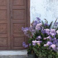 Siempreviva (Limonium sp.)  cultivada en maceta. Casa rústica. Villa de Mazo. La Palma
