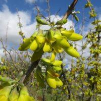 Conservación de flora del antiguo jardín. Oro de Risco (Anagyris latifolia)