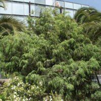 Conservación de flora del antiguo jardín. Cedro canario (Juniperus cedrus subsp. cedrus)