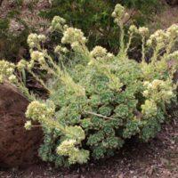 Eliminación de especies inapropiadas. Bejequillo de Teno (Aeonium haworthii)
