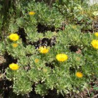 Eliminación de especies de otras islas. Botonera de Fuerteventura (Asteriscus sericeus)