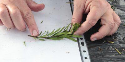 Preparación de esquejes de madama (Allagopappus canariensis)