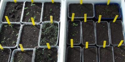 Preparación de semilleros en bandejas reutilizadas