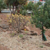 Cobertura de zonas de plantación con acolchado de hojas trituradas de palmera