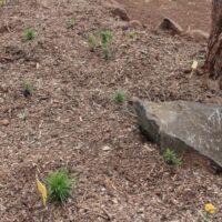 Cobertura de zonas de plantación con acolchado de restos de poda