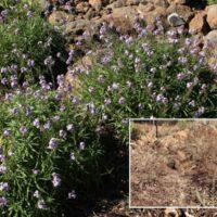 Envejecimiento de plantas de alhelí montuño (Erysimum virescens)