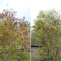 Poda de limpieza en granadillo (Hypericum canariense)