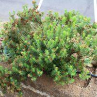 Planta de madama (Allagopapppus canariensis) desequilibrada