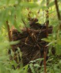 Mirlo canario (Turdus merula cabrerae) nidificando en granadillo (Hypericum canariense)