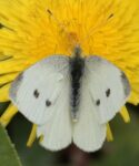 Mariposa de la col (Pieris rapae) sobre flor de cerrajón (Sonchus sp.)