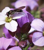 Sírfido (Meliscaeva auricollis) libando en flor de alhelí montuño (Erysimum virescens)