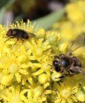 Mosca califórido (Stomorhina lunata) y abeja común (Apis mellifera) sobre flores de bejeque arbóreo (Aeonium arboreum)