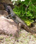 Macho de lagarto tizón (Gallotia gallotii) junto a servilleta de mar (Astydamia latifolia)