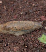 Limaco gigante de Tenerife (Drusia tenerifensis), endemismo local