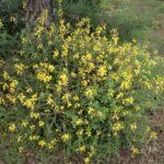 Codeso de monte (Adenocarpus foliolosus)