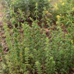 Orégano silvestre (Origanum vulgare subsp. virens)