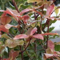 Cromatismo en los brotes del barbusano (Apollonias barbujana)