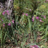 Puesta en valor de especies. Gladiolo salvaje (Gladiolus italicus)