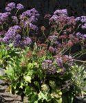 Siempreviva azul (Limonium sp.)