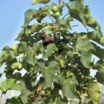 Arbusto de Jatropha curcas.
