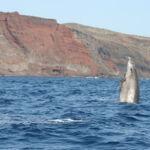 Rara imagen de zifio de Blainville Marine saltando en la Reserva de El Hierro.