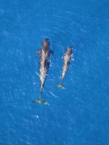 Grupo de cetáceos observado desde un dron.