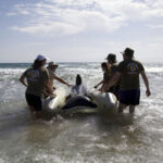 Operación de reflote durante este simulacro de varamiento de cetáceos.